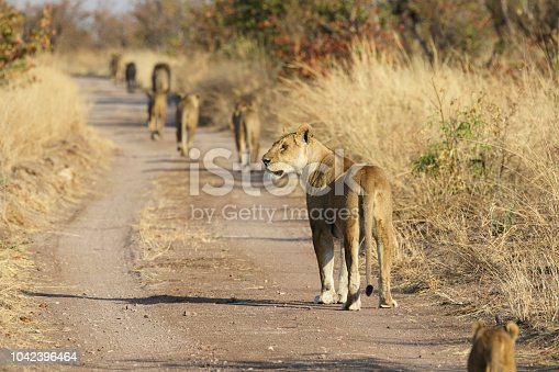There is only one youngster in this pride of ten lions, and she finds it hard to keep up. Mother lioness (Panthera leo melanochaita) turns around to make sure her cub does not get left behind. Hwange National Park, Zimbabwe.
