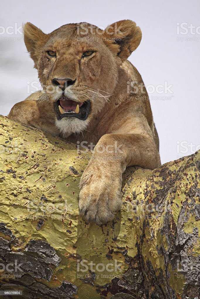 Lioness, Mouth Open royalty-free stock photo