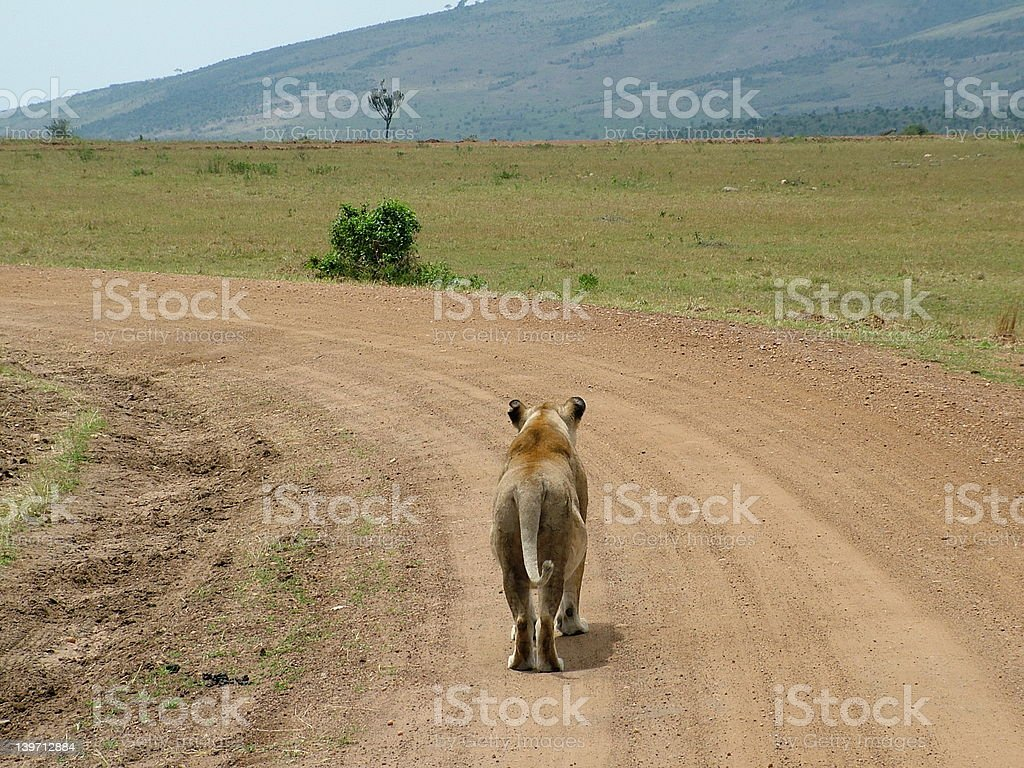 Lioness on a long road royalty-free stock photo