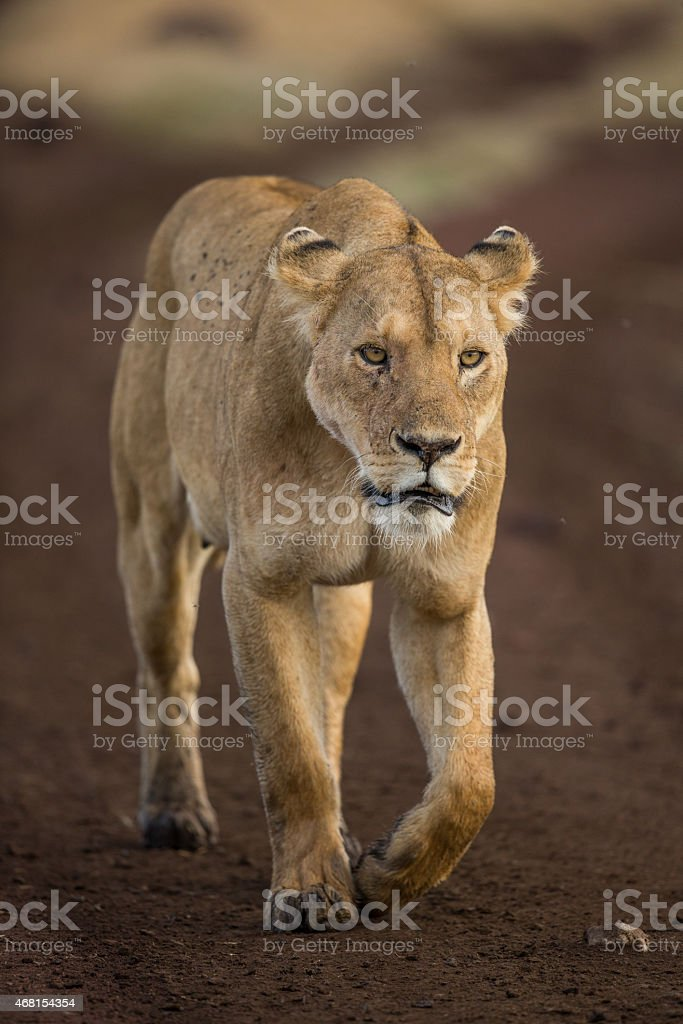 Lioness on a stroll stock photo