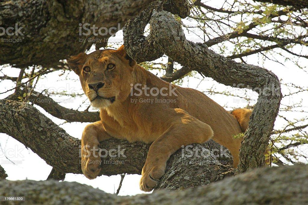 Leona en un árbol foto de stock libre de derechos