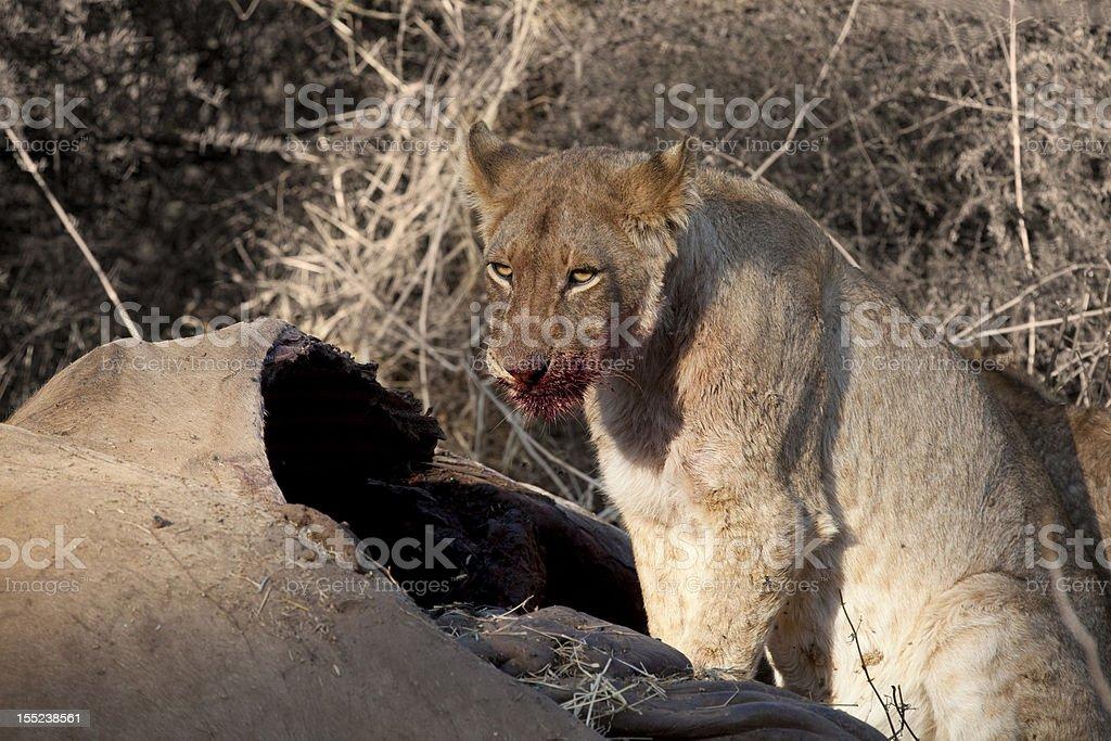 Lioness on Eland Kill royalty-free stock photo