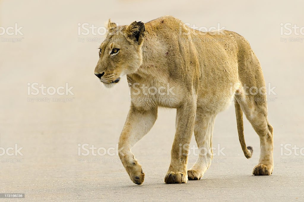 Lioness on Road - South Africa stock photo