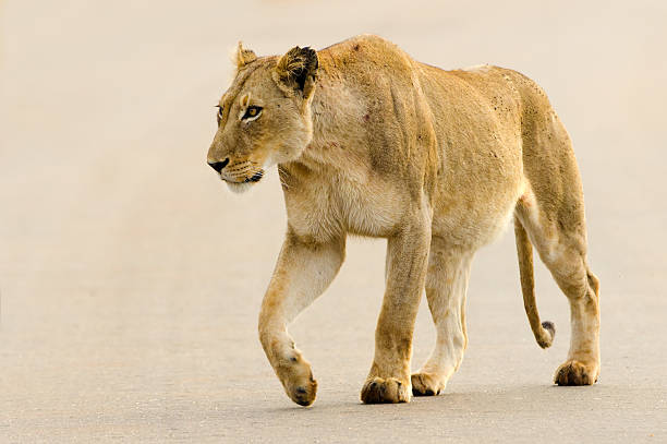 lioness on road - south africa - lioness stock photos and pictures