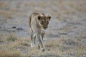 Lioness stalks a Red hartebeest in Etosha National Park