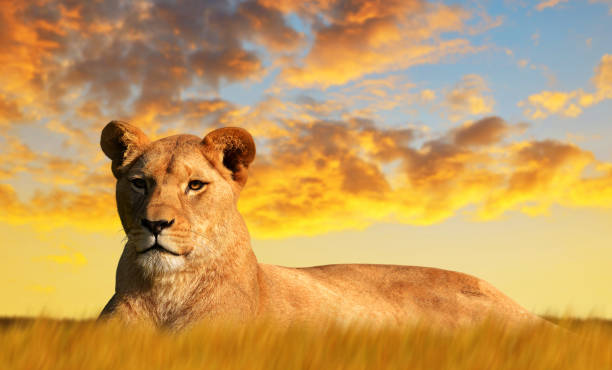lioness on the savannah at sunset. - lioness stock photos and pictures