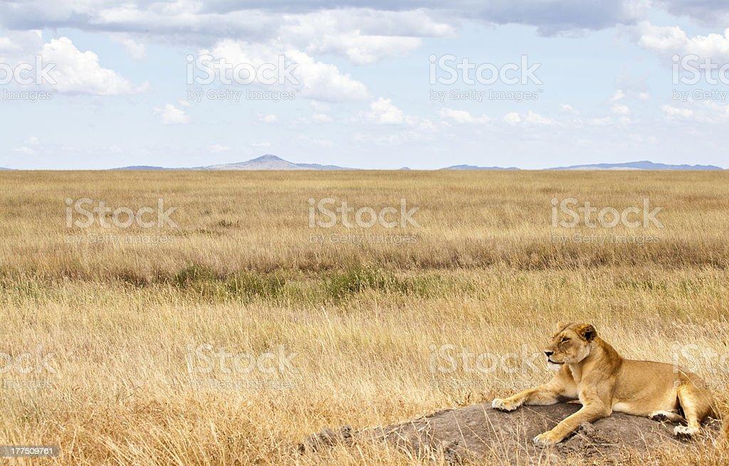 Löwin auf den Savannah – Foto