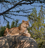 Lioness on top of a stone watching over their territories. Jungle's queen
