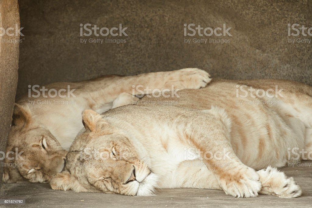 Lioness or female Lions resting in the shade photo libre de droits
