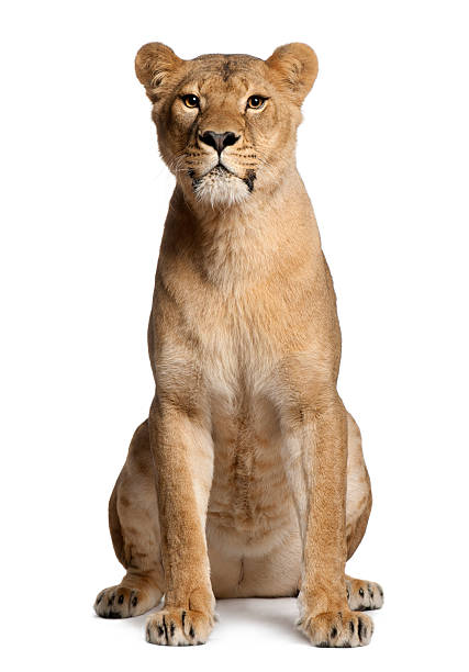lioness, panthera leo, 3 years old, sitting - lioness stock photos and pictures
