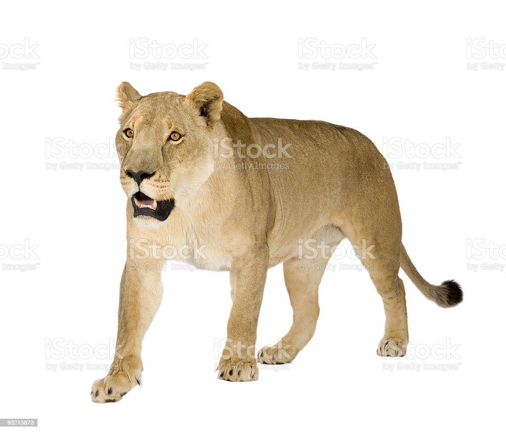 Lioness (8 years) - Panthera leo stock photo