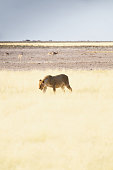 Incredible close up view of a female lion with a tracking collar around the neck walking through dry grass in Etosha National Park in Namibia, Africa. Etosha Park is a popular tourist destination.