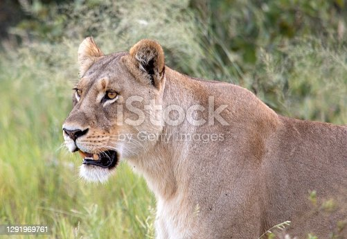 istock Lioness 1291969761