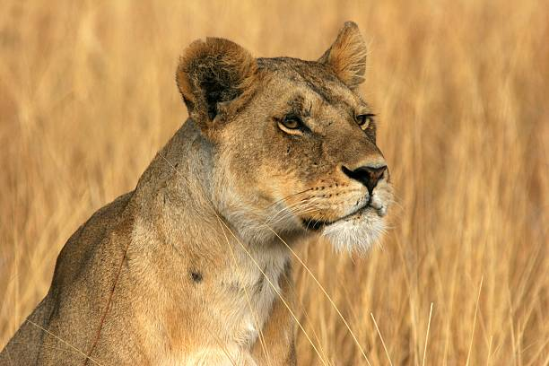 Lioness The portrait of Lioness in the Serengeti National Park university of wisconsin milwaukee stock pictures, royalty-free photos & images