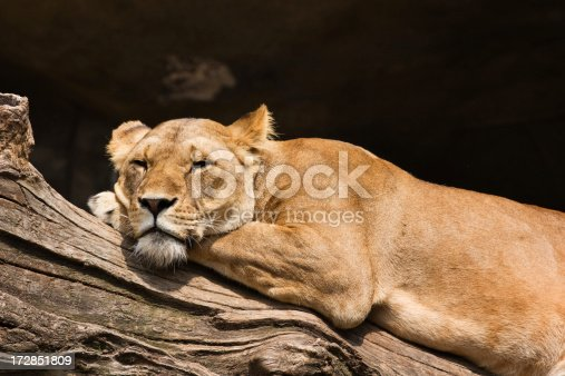 Lioness resting on a log from