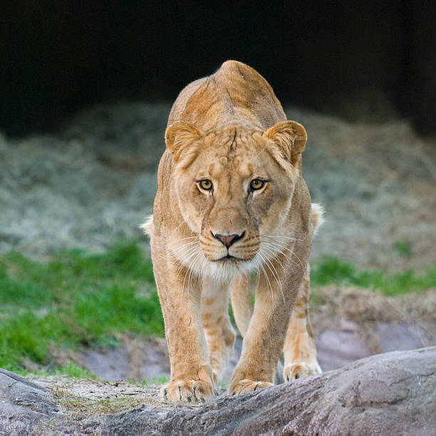 lioness - lioness stock photos and pictures