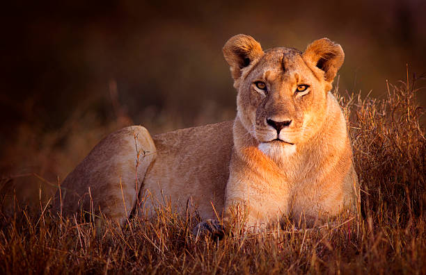 Lioness Lioness in dawn light - Masai Mara, Kenya female animal stock pictures, royalty-free photos & images