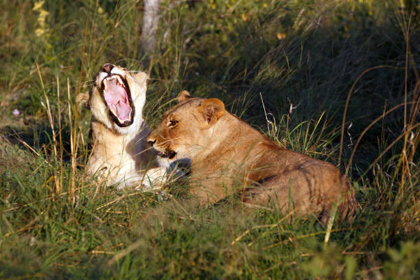 lioness Yawning lioness in the gras zähne stock pictures, royalty-free photos & images