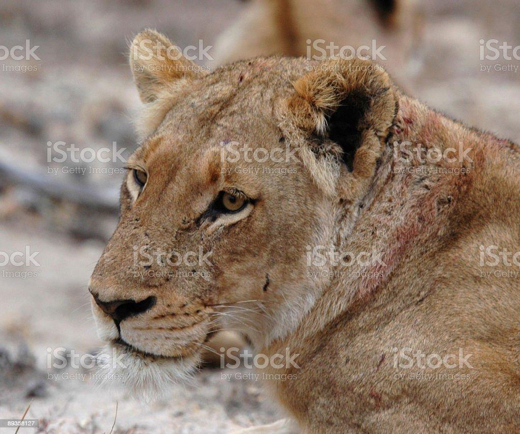 Lioness royaltyfri bildbanksbilder