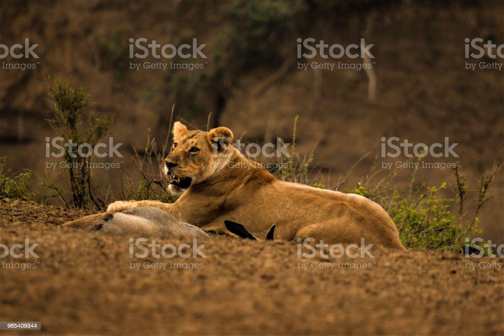 母獅 - 免版稅在野外的野生動物圖庫照片