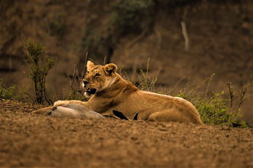 母獅 照片檔及更多 在野外的野生動物 照片