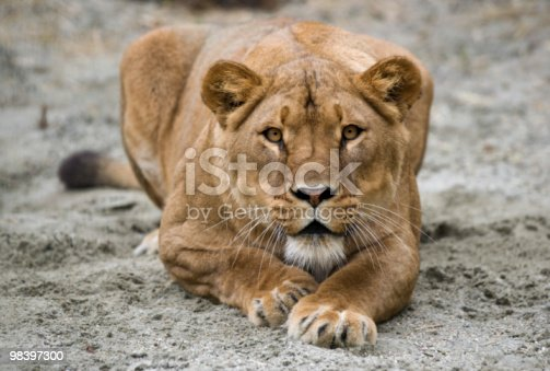 Lioness Stock Photo & More Pictures of Africa