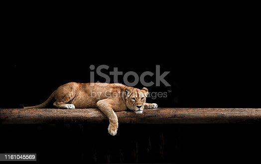 Lioness Portrait in the dark