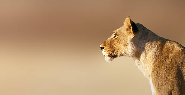 lioness portrait - lioness stock photos and pictures