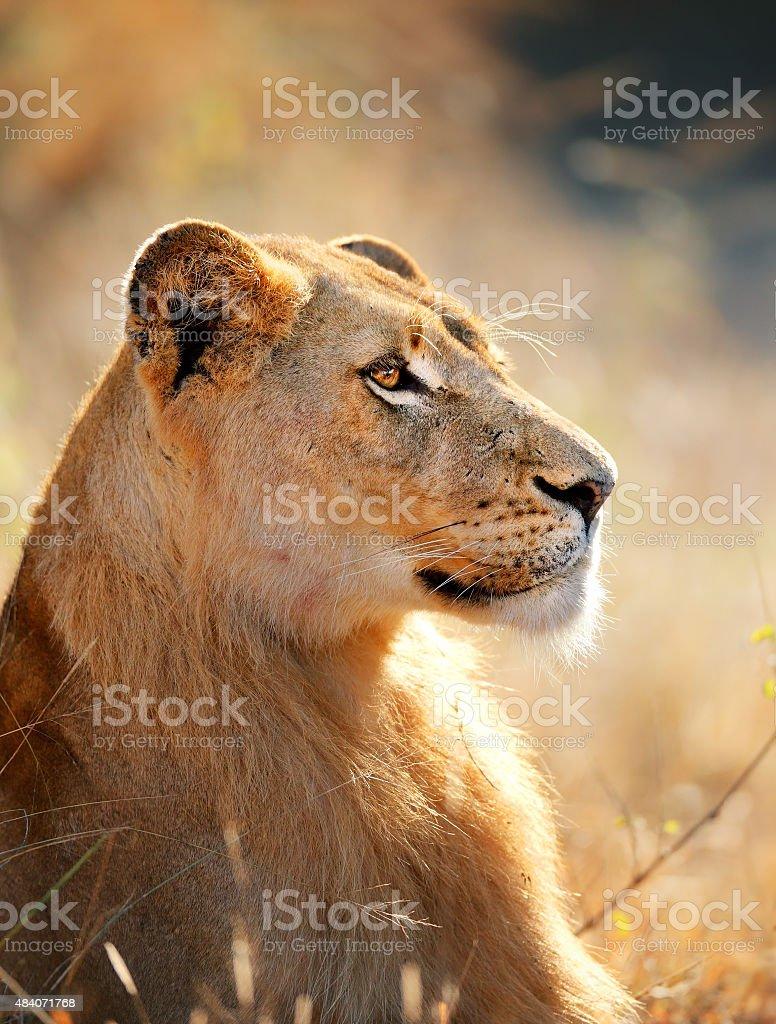 Lioness portrait stock photo