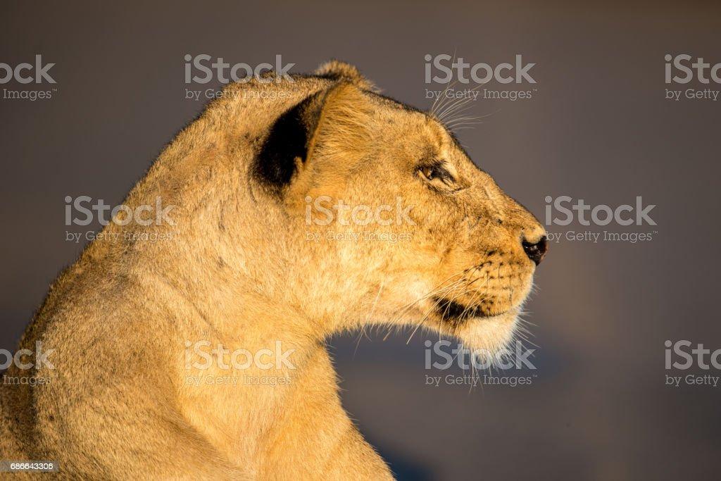 Lioness Portrait royalty-free stock photo