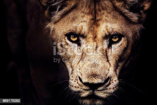 istock Lioness portrait 869175050