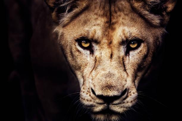 ritratto di leonessa - fauna selvatica foto e immagini stock