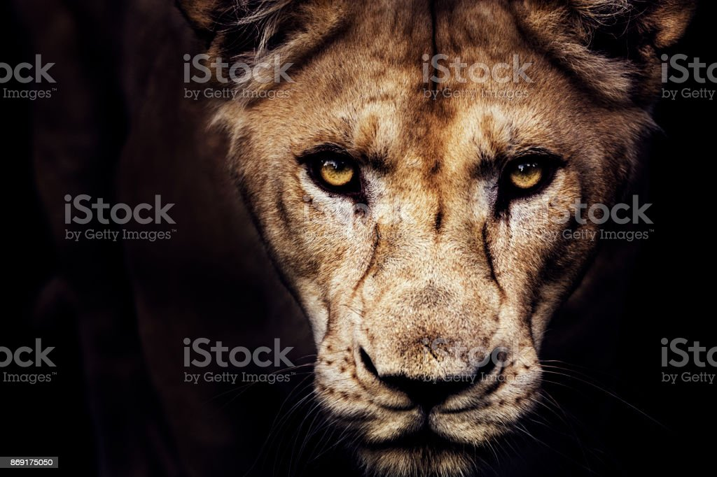 Lioness portrait stock photo