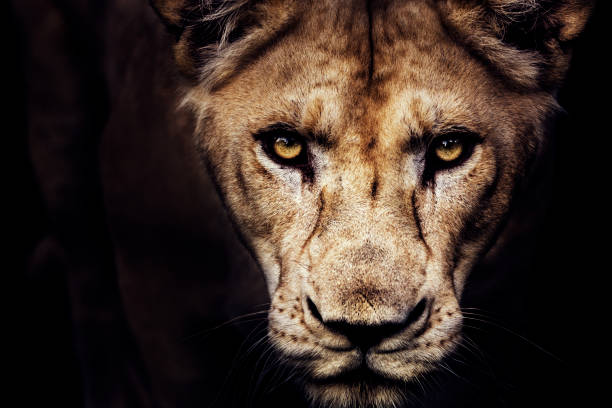 lioness portrait - lion stock photos and pictures