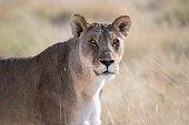A couple of African Lions in the savannah grass of the Etosha National park in northern Namibia during summer