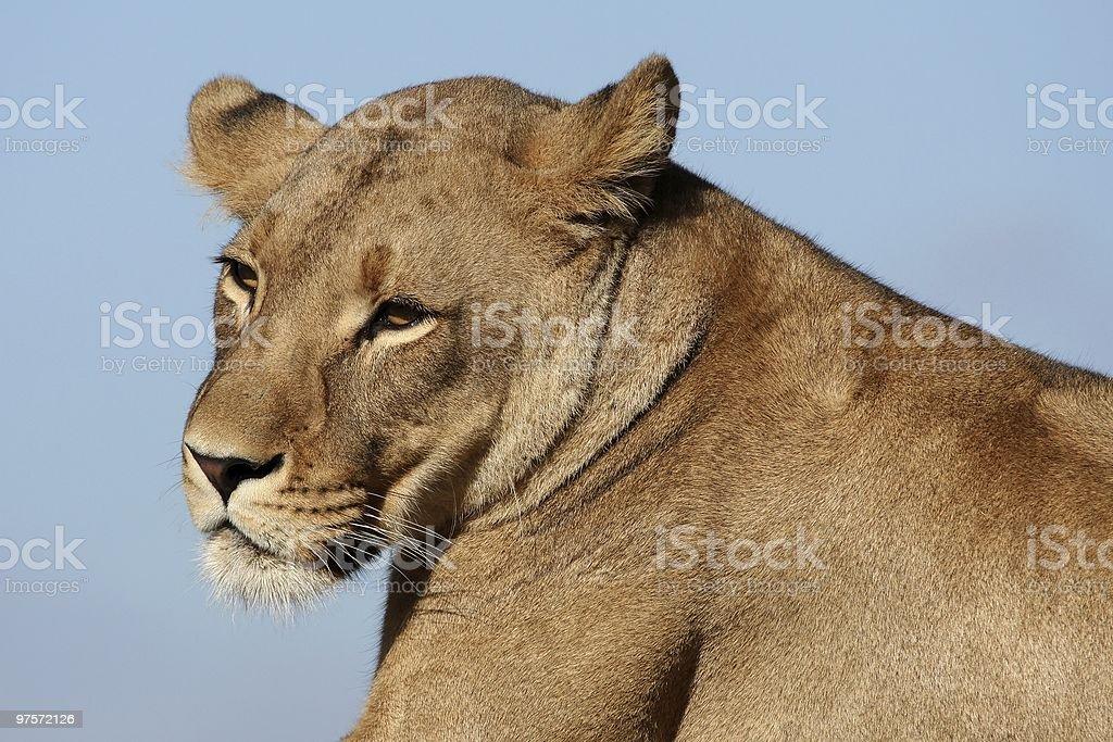Portrait de Lionne photo libre de droits
