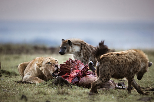 Angry lioness protecting her pray from hungry hyena. Copy space.