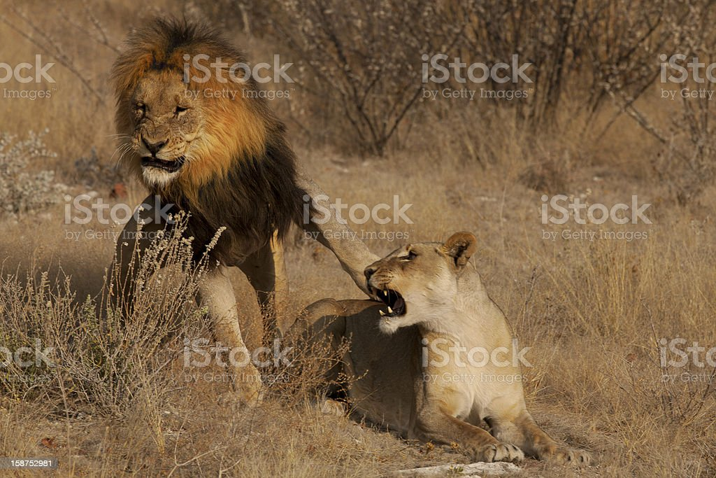 Lioness rebels to lion stock photo
