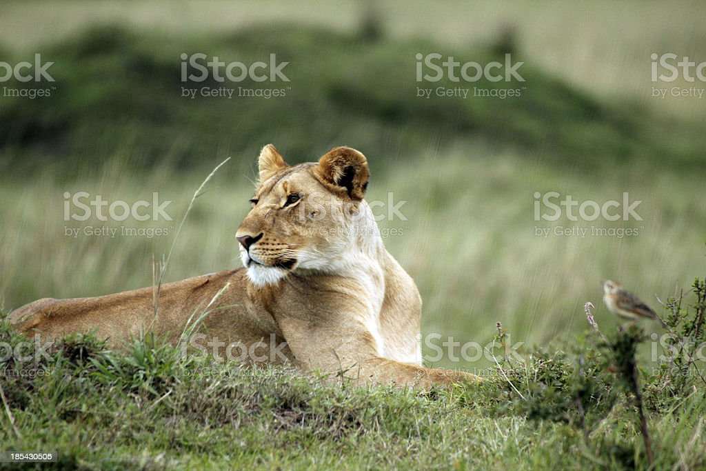 Lioness relaxing royalty-free stock photo
