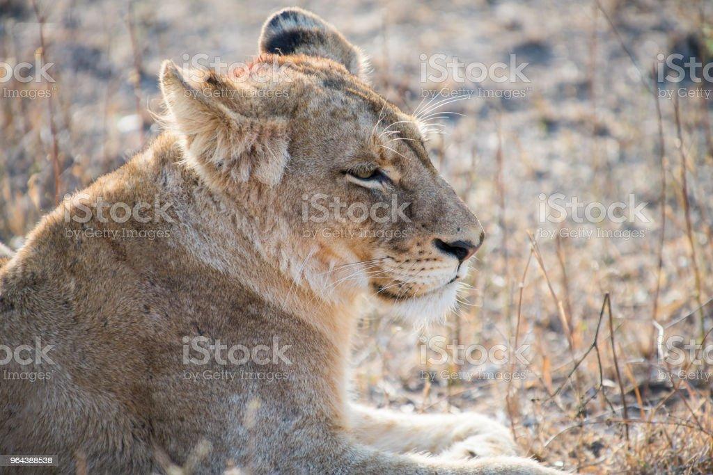 Leoa a descansar depois da morte de manhã - Foto de stock de Animal selvagem royalty-free