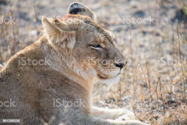 Foto de Leoa A Descansar Depois Da Morte De Manhã e mais fotos de stock de Animal selvagem