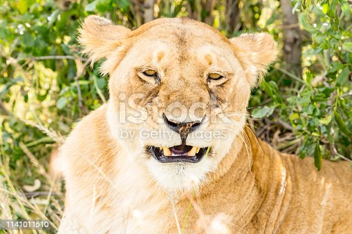 Lioness resting at wild - Sleepy smiling