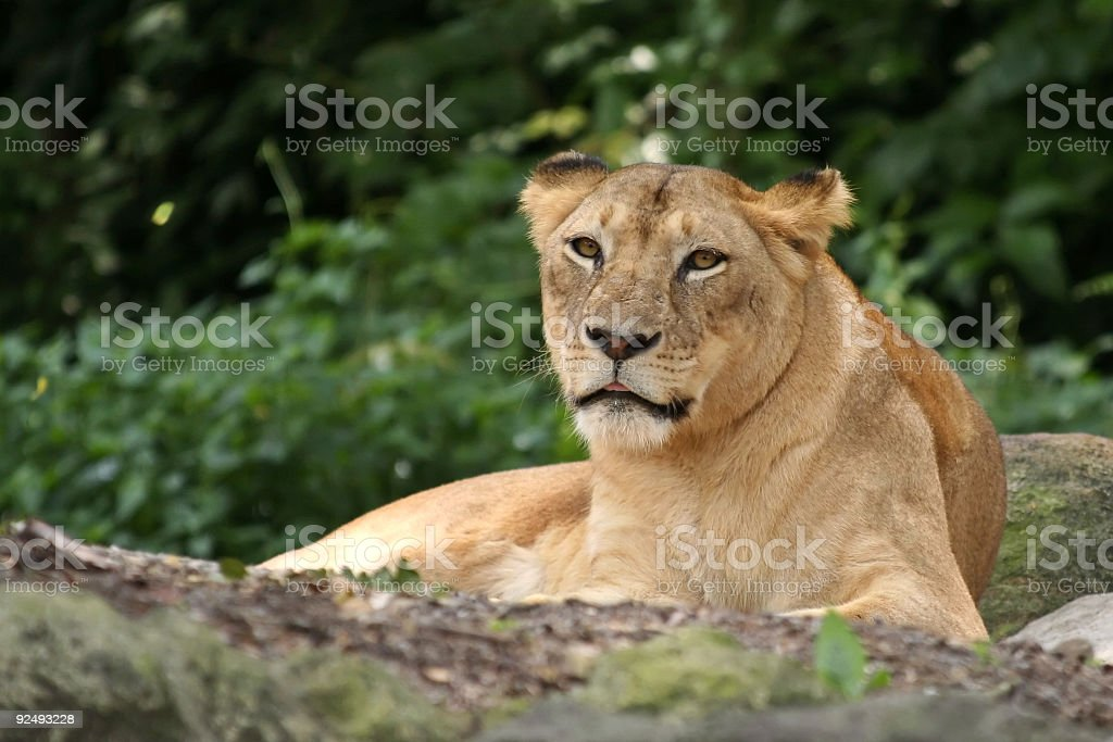 Lioness resting in singapore zoo royalty-free stock photo