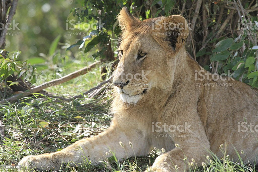 Lioness resting in the shade royalty-free stock photo