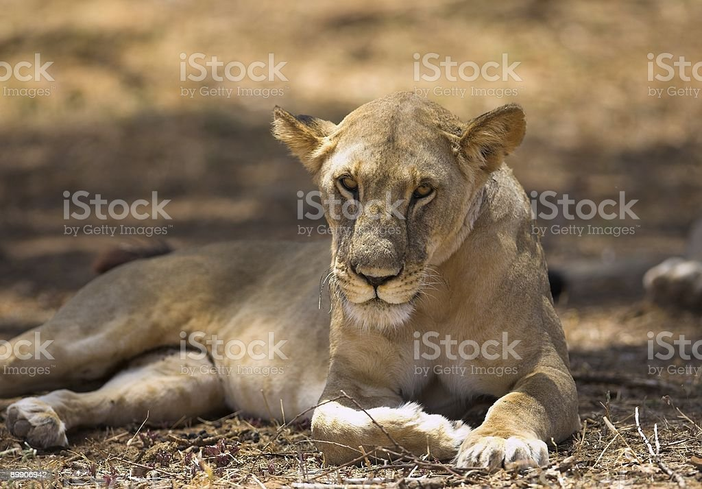 Lioness resting royalty-free stock photo