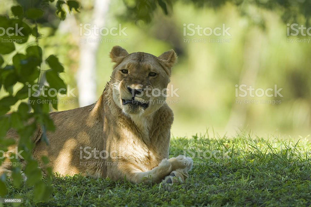 Lioness resting under a tree royalty-free stock photo