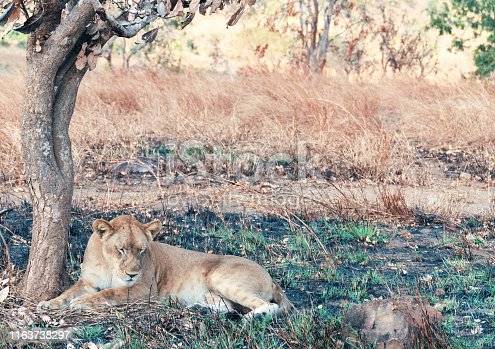 Lioness lying down in the shade of the tree in the  dry season in Mikumi National Park.