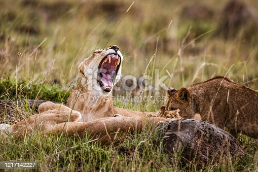 Lioness yawning in the wild.