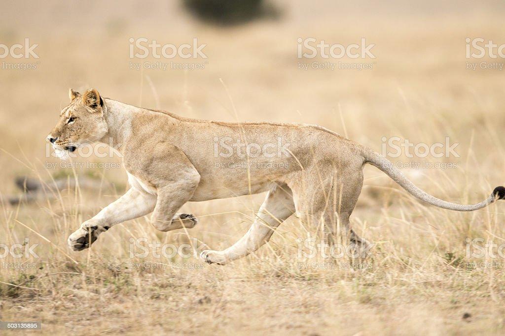 Lioness running , Masai Mara ,Kenya stock photo