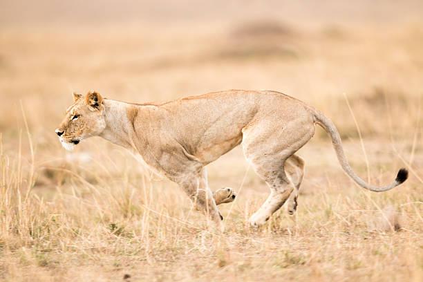 Lioness running, Masai Mara, Kenya stock photo